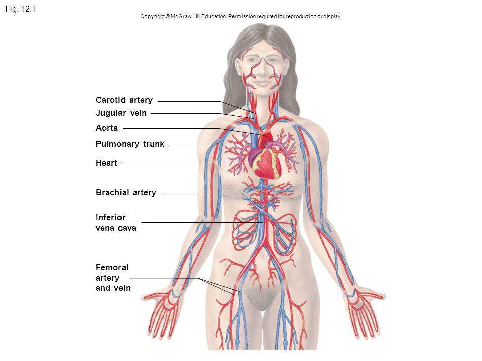 carotid artery jugular vein aorta pulmonary trunk heart download abdominal branches