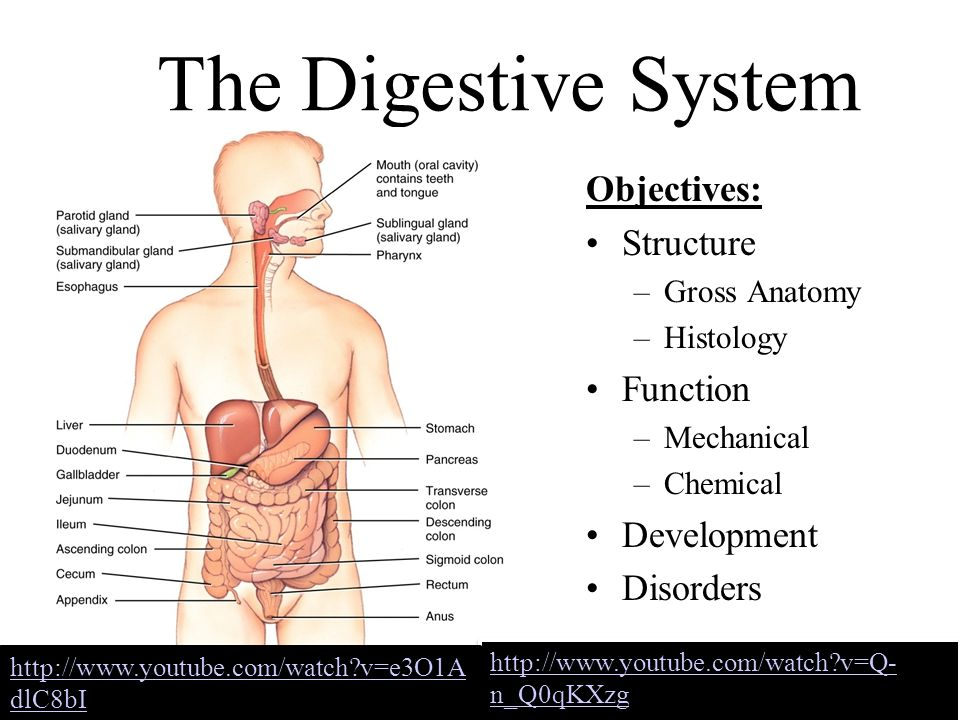 The Digestive System Objectives: Structure Function Development ...