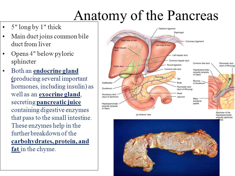 anatomy structure of the pancreas The pancreas is a glandular organ that produces a number of hormones  essential to the body it forms an integral part of the digestive system.
