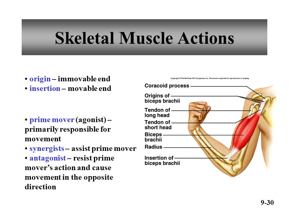 exercise 2 skeletal muscle physiology