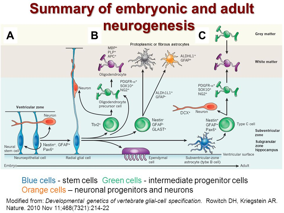 The biology of neural stem cells Essay Sample