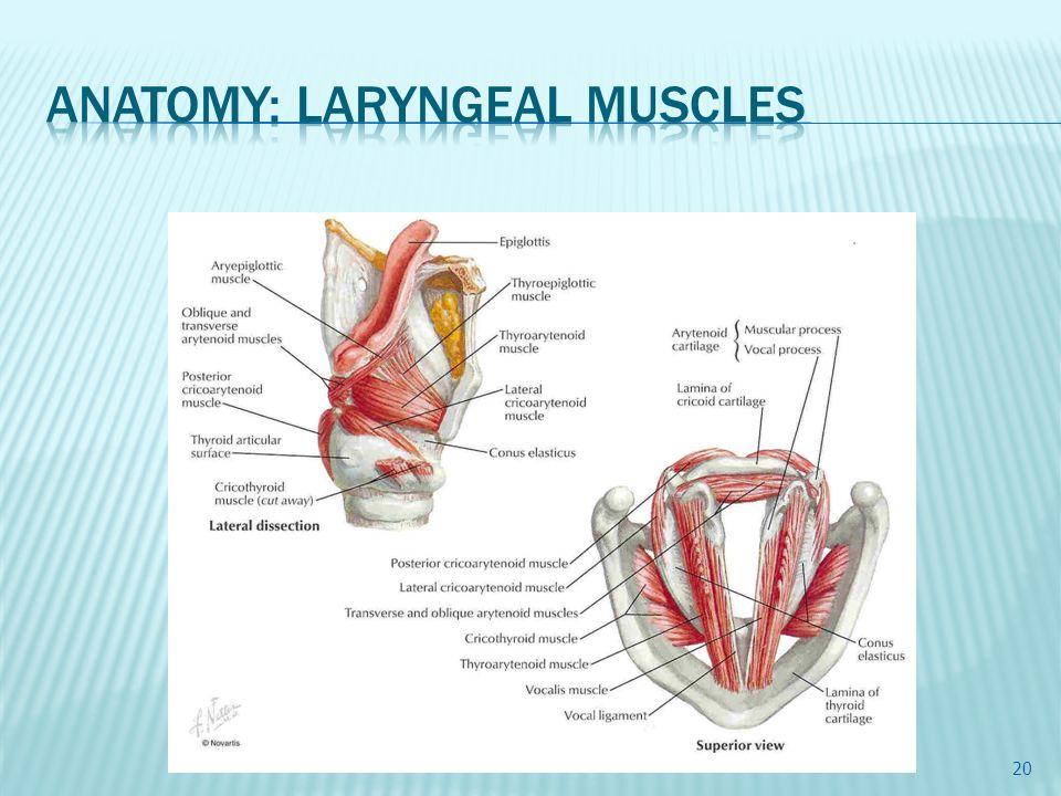 Ausgezeichnet Larynx Funktion Zeitgenössisch - Menschliche Anatomie ...