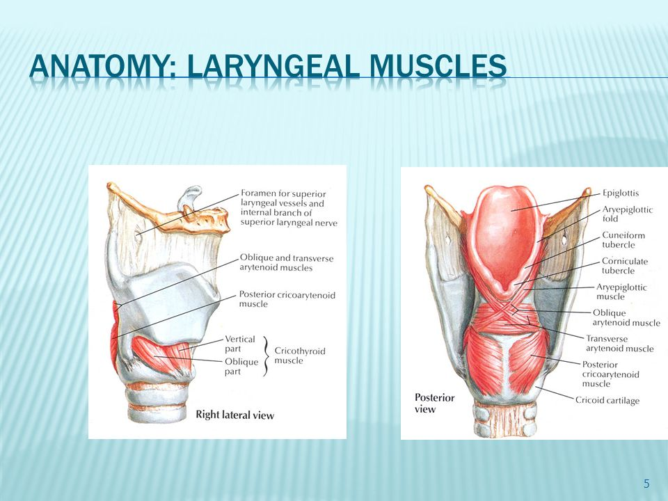 Larynx □ Embryology The larynx develops from a two-part anlage ...