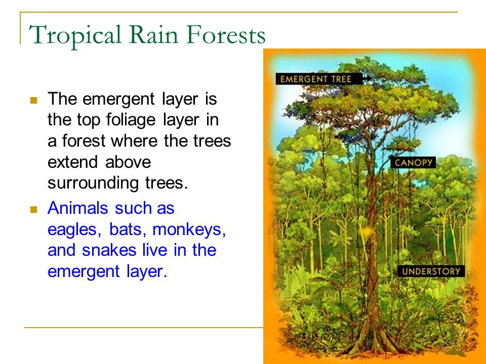 Tropical Rain Forests The emergent layer is the top foliage layer in a forest where the trees extend above surrounding trees.