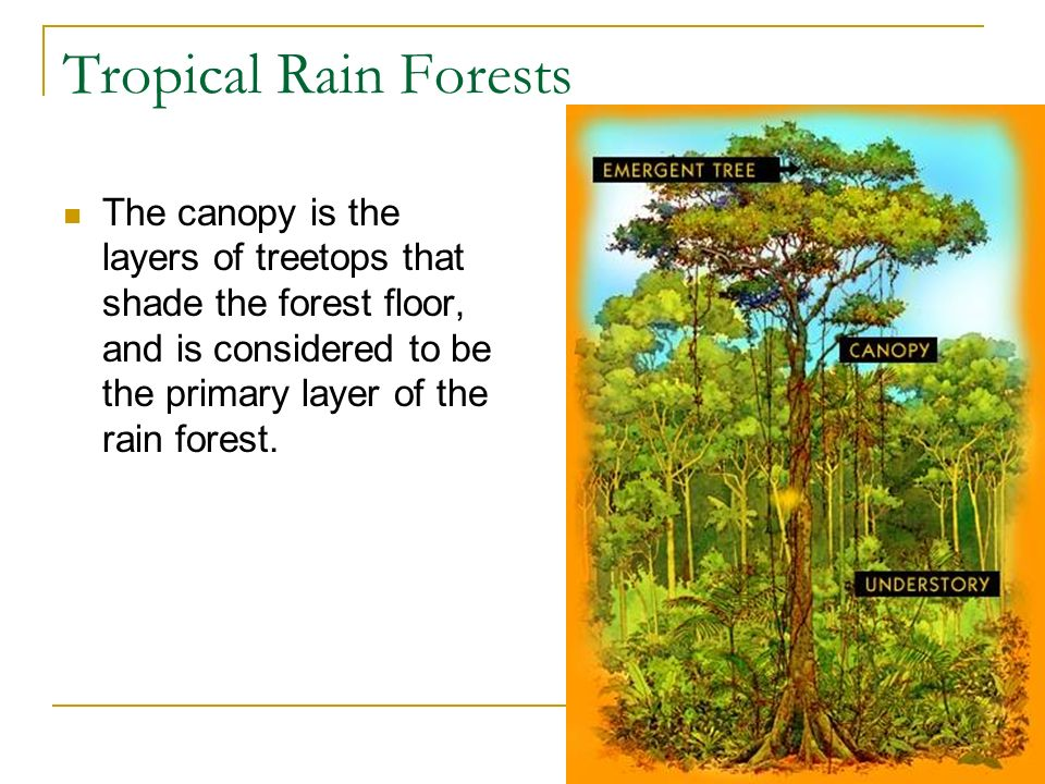 Tropical Rain Forests The canopy is the layers of treetops that shade the forest floor, and is considered to be the primary layer of the rain forest.
