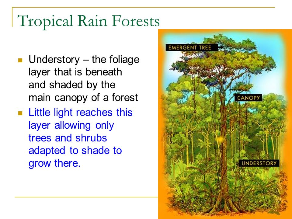 Tropical Rain Forests Understory – the foliage layer that is beneath and shaded by the main canopy of a forest.