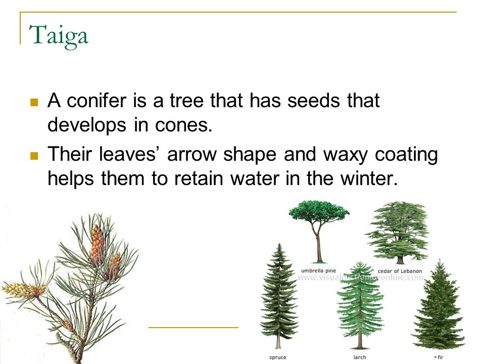 Taiga A conifer is a tree that has seeds that develops in cones.