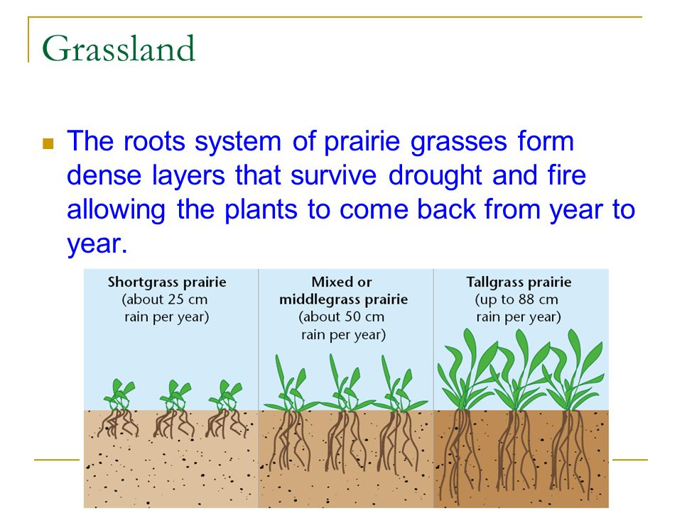 Grassland The roots system of prairie grasses form dense layers that survive drought and fire allowing the plants to come back from year to year.