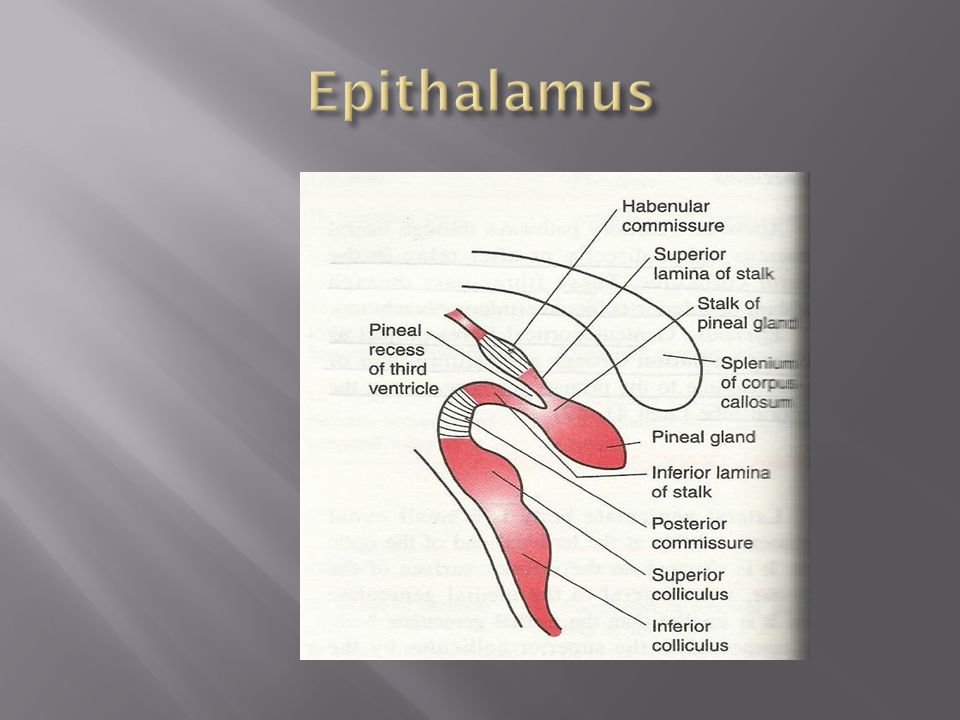 epithalamus diagram - photo #16