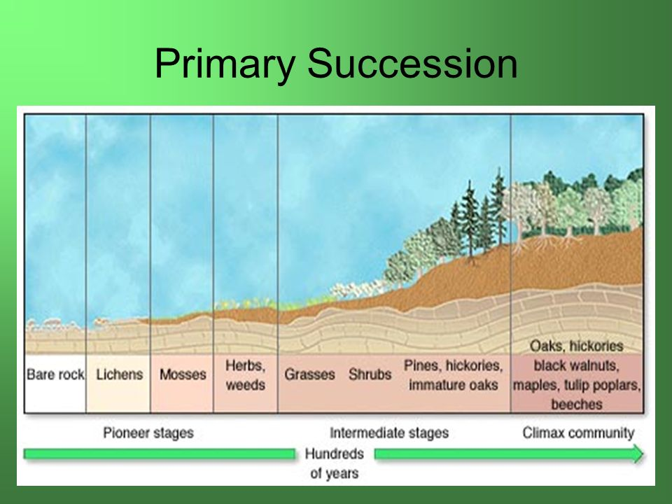Soil formation in primary succession is encouraged by for Soil formation
