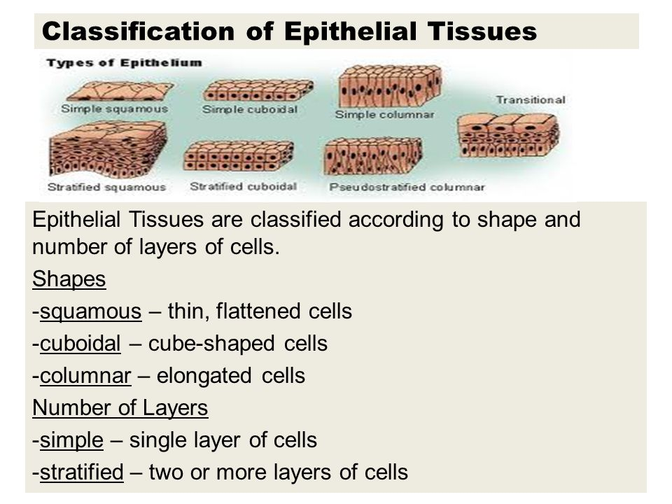 classification of epithelial tissue And again, the animal cells are classified into different types based on their  function, structure and some other factors epithelial tissue is one such animal  tissue.