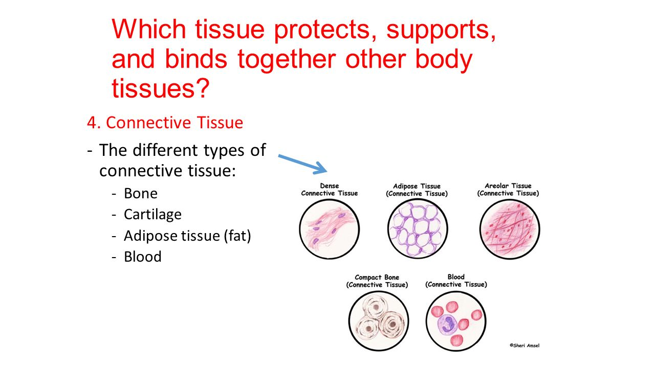 types of tissues Connective tissue: this is a diverse group of tissues whose functions vary from binding together, support, and protect the other types of tissues found in your body.