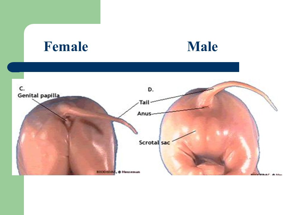 how to tell if pig is male or female