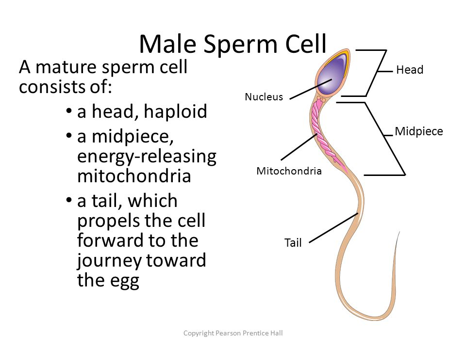 Sperm cell midpiece tight