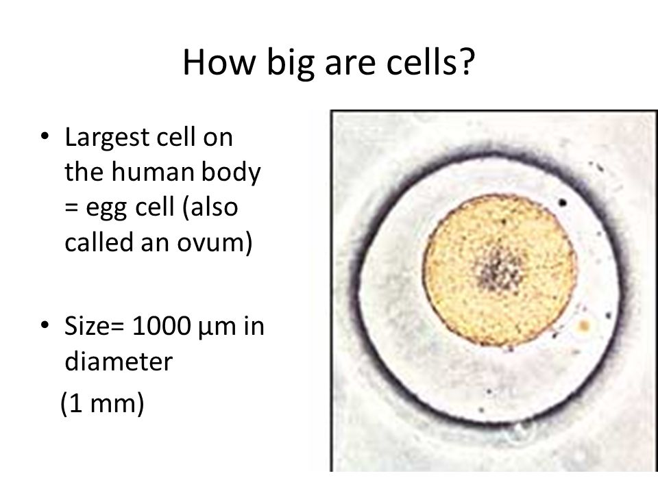 the journey of the egg in the human body In comparison to sperm, the egg is quite a large cell - the largest in the human body in addition, it is released from the ovary surrounded by a cloud of cells called the cumulus through which the sperm must first penetrate before they can reach and make contact with the egg surface.