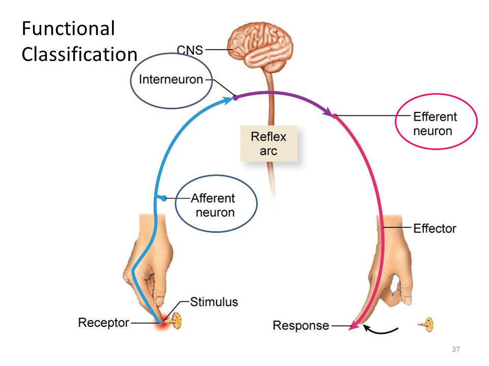 central nervous system and reflex arc Reflex arc anatomy a receptor, a sensory neuron, a motor neuron, the motor neuron's innervation of the peripheral nervous system, and at least one association neuron from the central nervous system are the ingredients to a conduction passageway of the reflex arc.