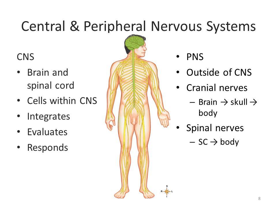 Nervous System – Cells Chapter 13, p - ppt video online download