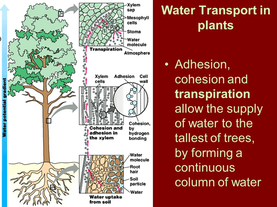 water transportation in plants The present state of modelling of water transport across plant tissue is reviewed a mathematical model is presented which incorporates the cell-to-cell (protoplastic) and the parallel apoplastic.