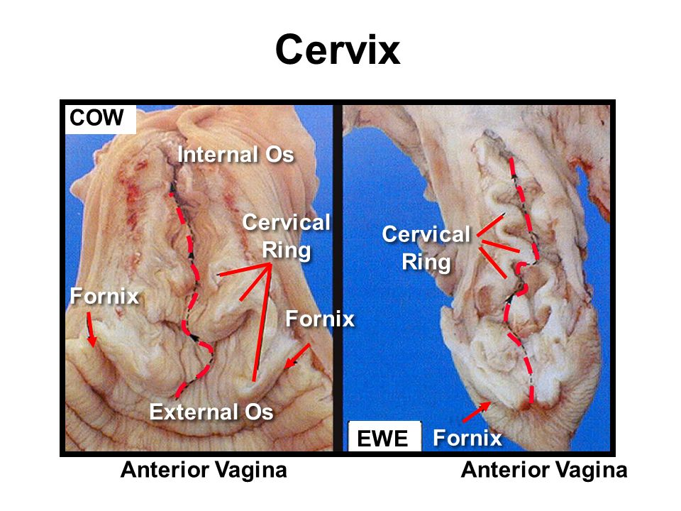 Female comparative anatomy history of reproductive physiology ppt 16 cervix cow ccuart Choice Image