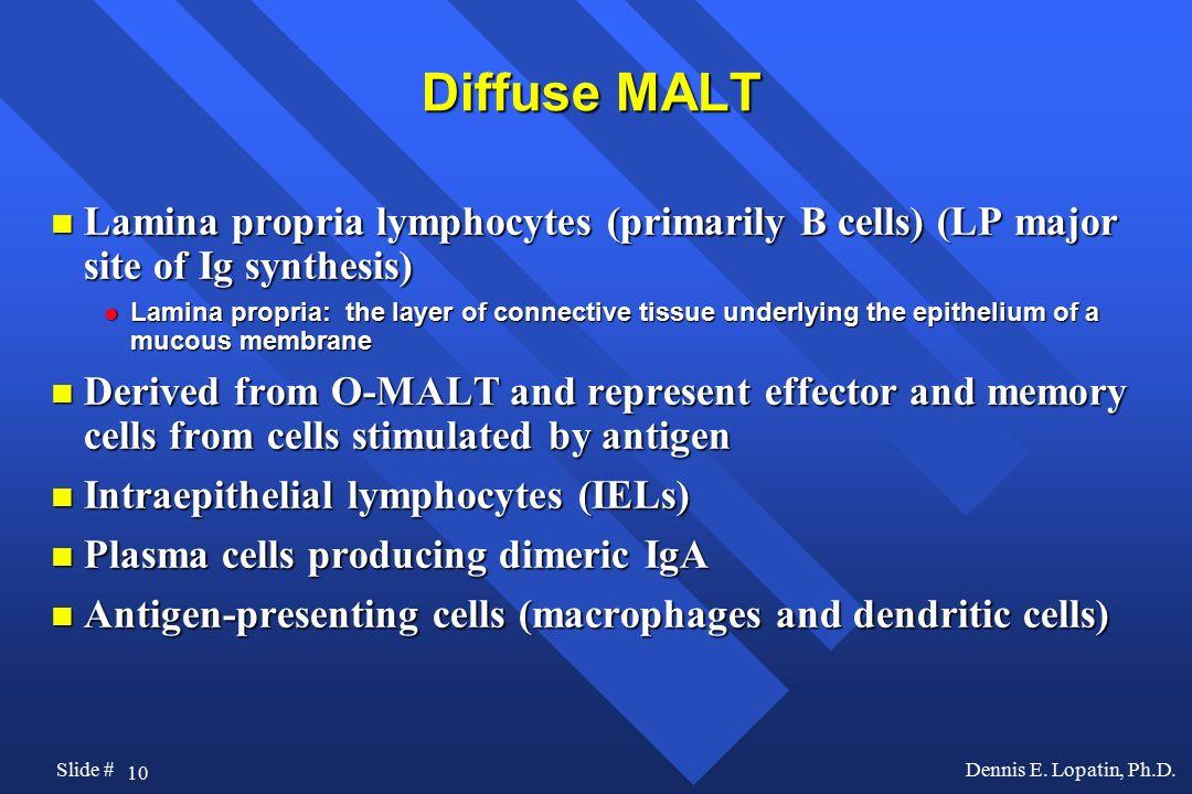 Diffuse MALT Lamina propria lymphocytes (primarily B cells) (LP major site of Ig synthesis)