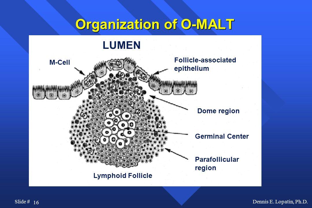 Organization of O-MALT