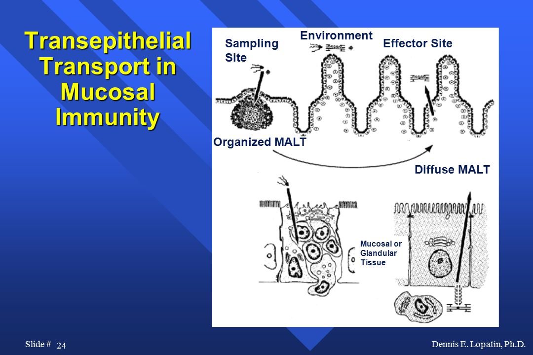 Transepithelial Transport in Mucosal Immunity