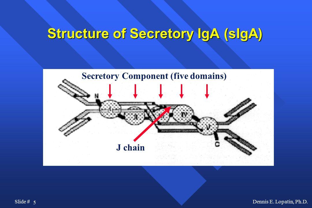 Structure of Secretory IgA (sIgA)