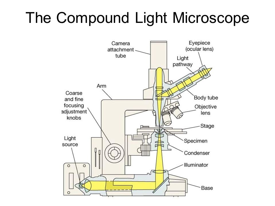 The compound light microscope ppt video online download the compound light microscope ccuart Gallery