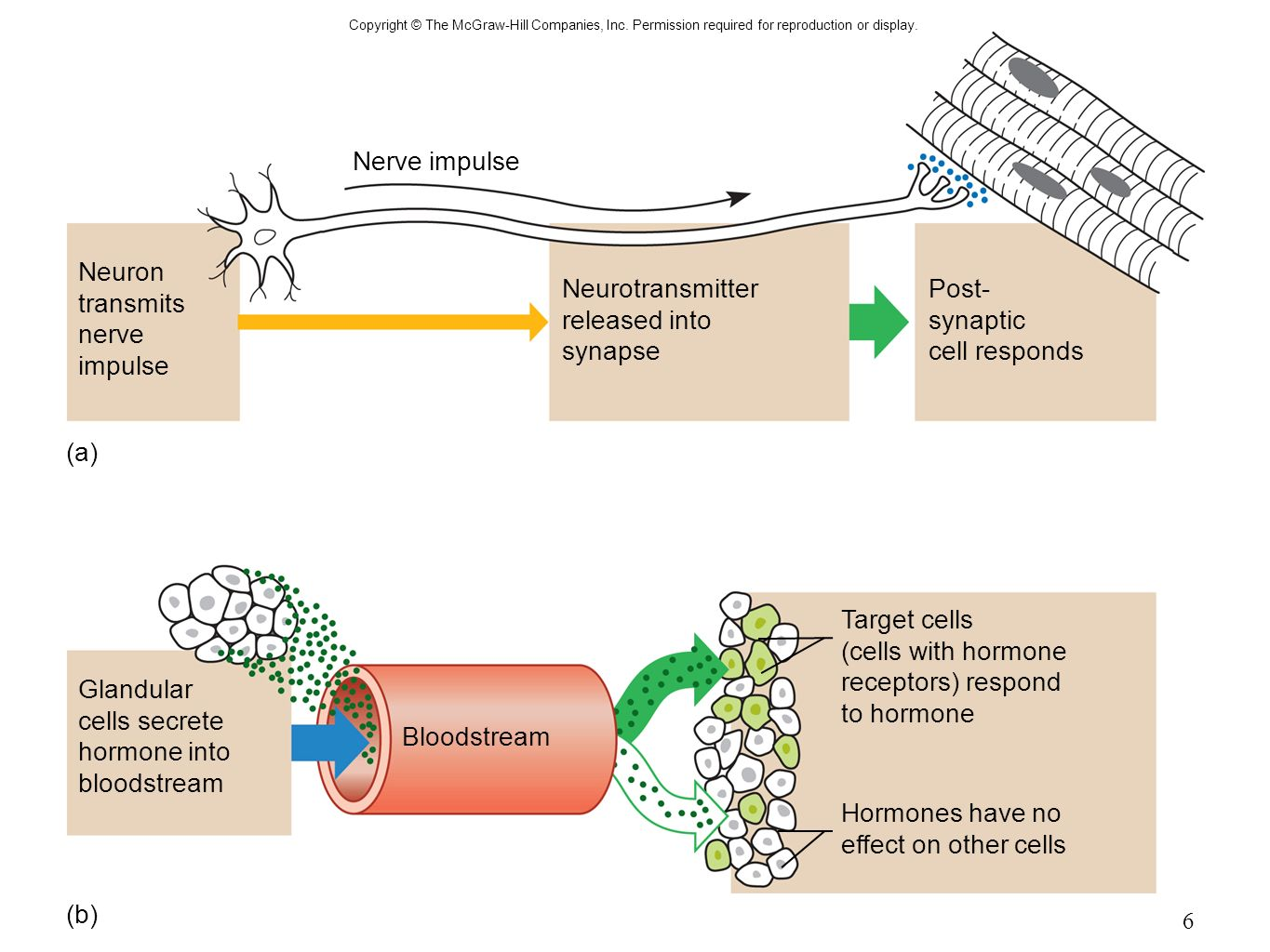 explain the mechanism of nerve impulse transmission at the synapse Nerve impulses travel directly across connected synapses via how does a nerve impulse cross a synapse a: nerve impulse transmission explain how a nerve.