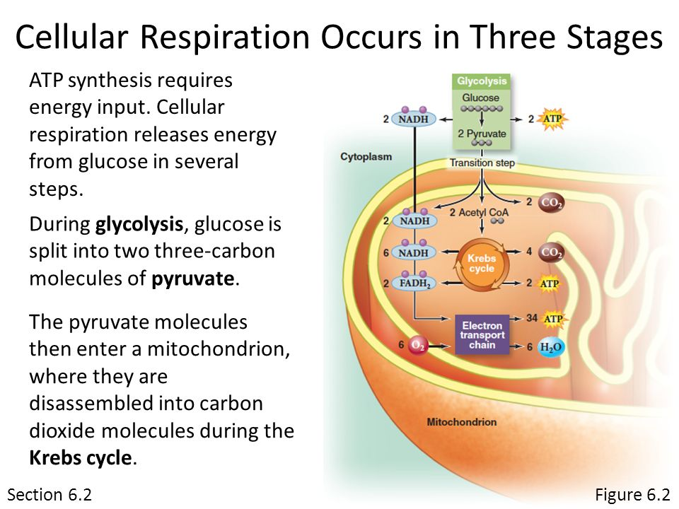 describe the stages of cellular respiration 4 steps of aerobic respiration atp is then used as energy by nearly every cell in the body aerobic respiration has four stages.