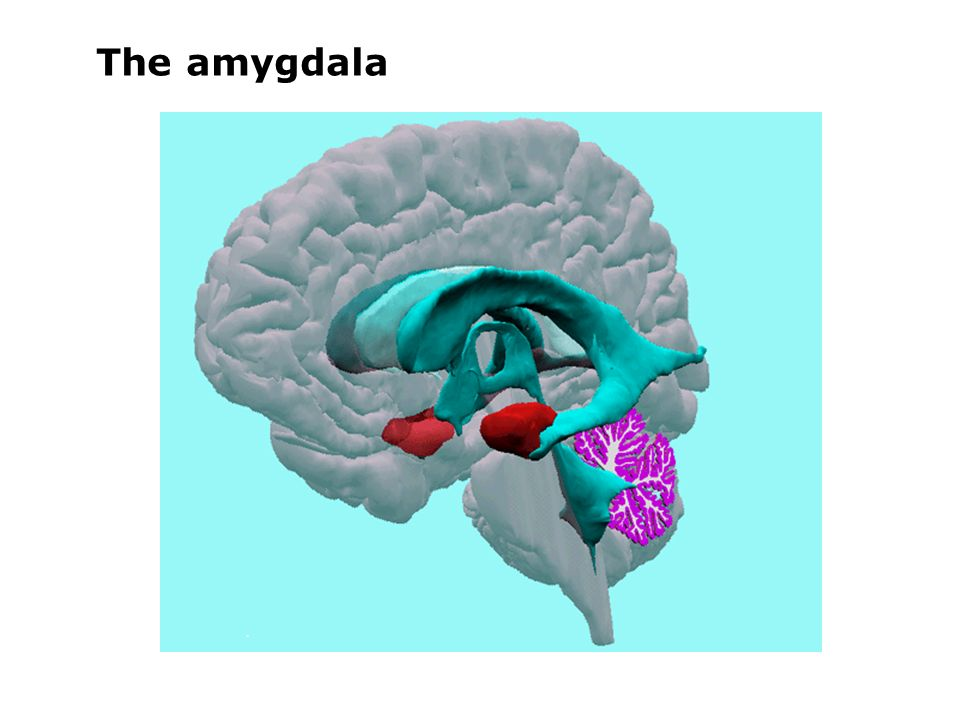 role of amygdala in the experience of fear A new neuropsychological study of a rare patient provides novel evidence that amygdala lesions can virtually abolish the experience of fear, illuminating neurobiological mechanisms of fear.