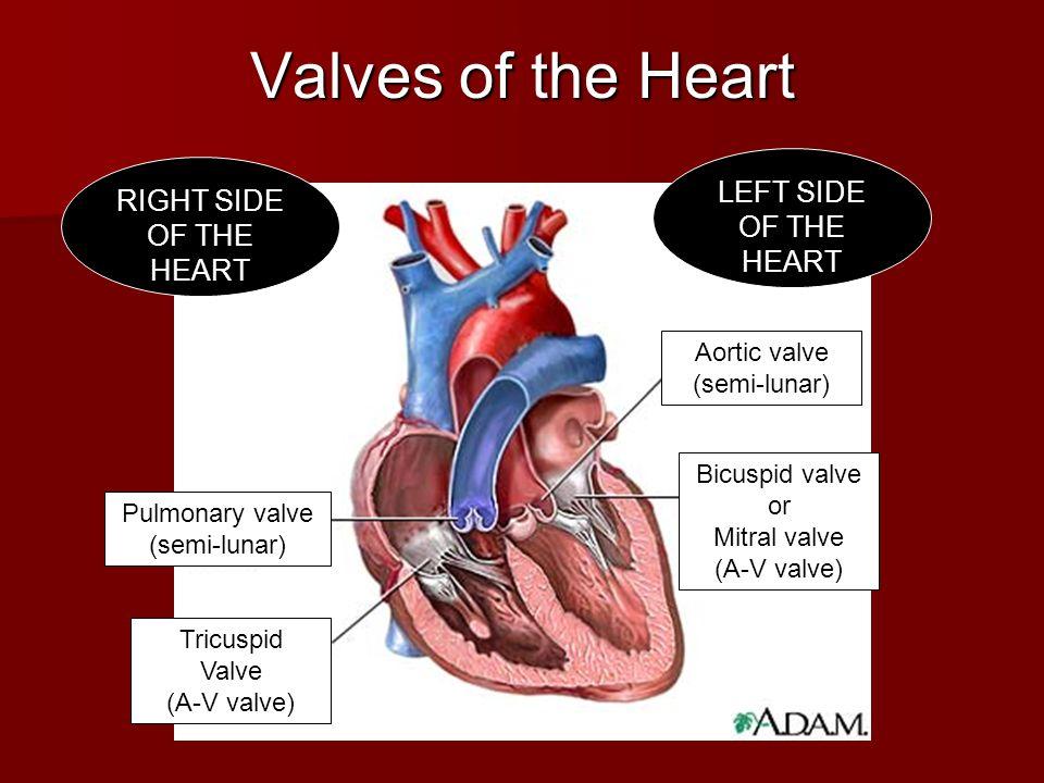 Heart Diagram Atrioventricular Valves Great Installation Of Wiring