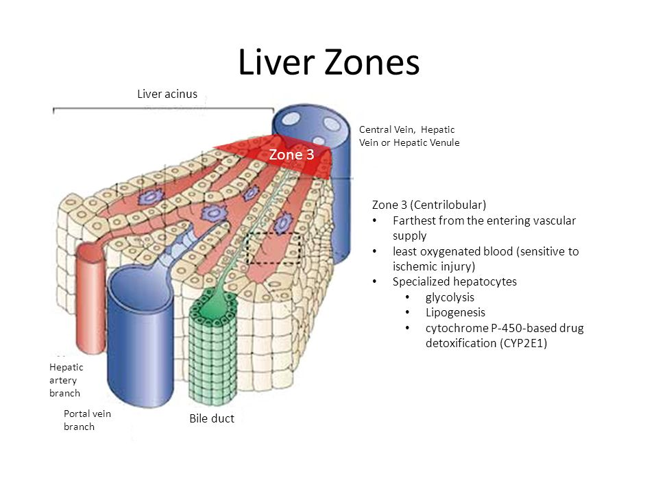 List of Synonyms and Antonyms of the Word: Liver Zone 3