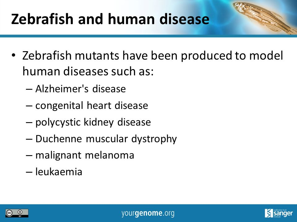 the zebra fish and human diseases essay Zebrafish as a disease model for studying human hepatocellular  they have  no conflicts of interest regarding the publication of this paper.