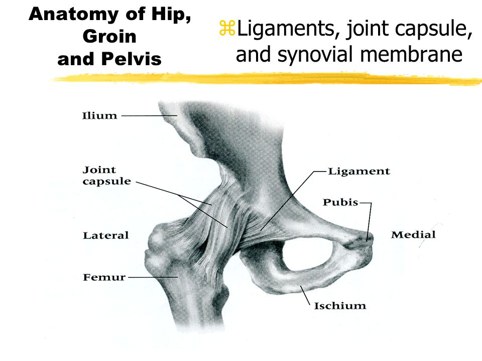 Hip Anatomy Ppt Image Collections Human Body Anatomy