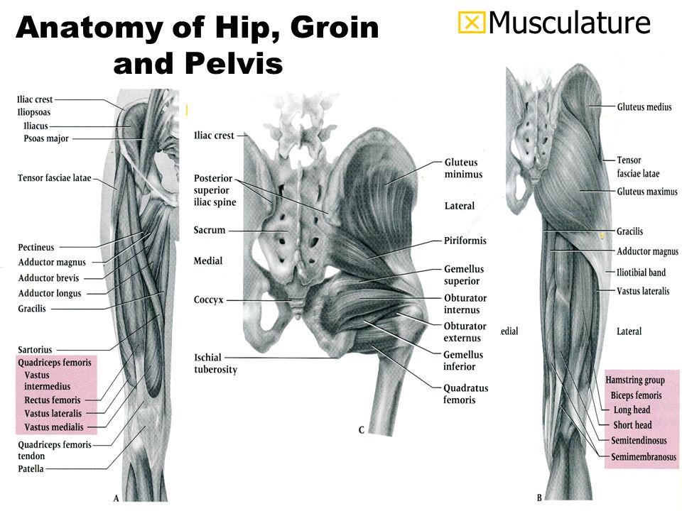 Dorable Pelvis And Hip Anatomy Inspiration Human Anatomy Images