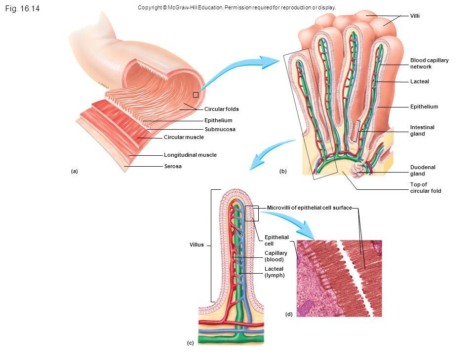 Niedlich Anatomie Und Physiologie Mcgraw Hill Zeitgenössisch ...