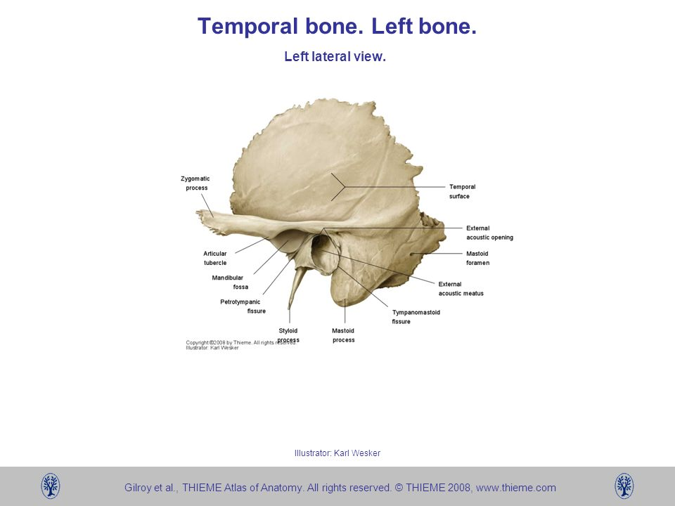 Temporal bone. Left bone. - ppt video online download