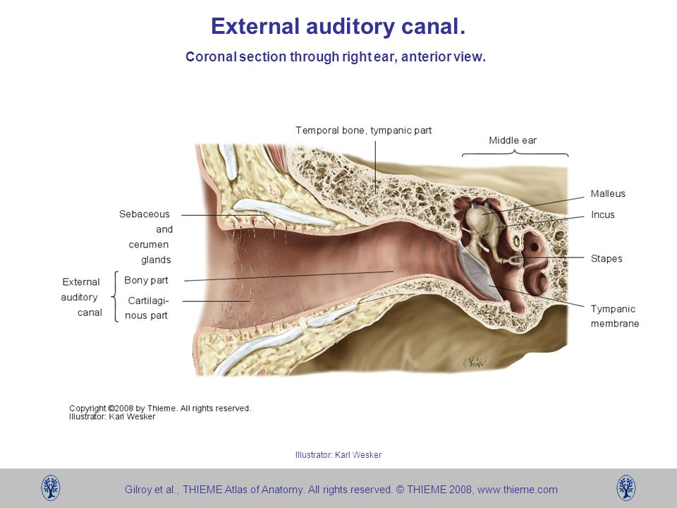 External auditory canal anatomy 3008645 - follow4more.info