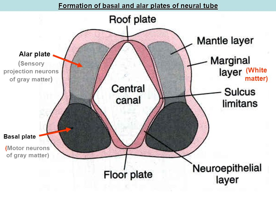 Functional Components And Organization Of Spinal Cord And