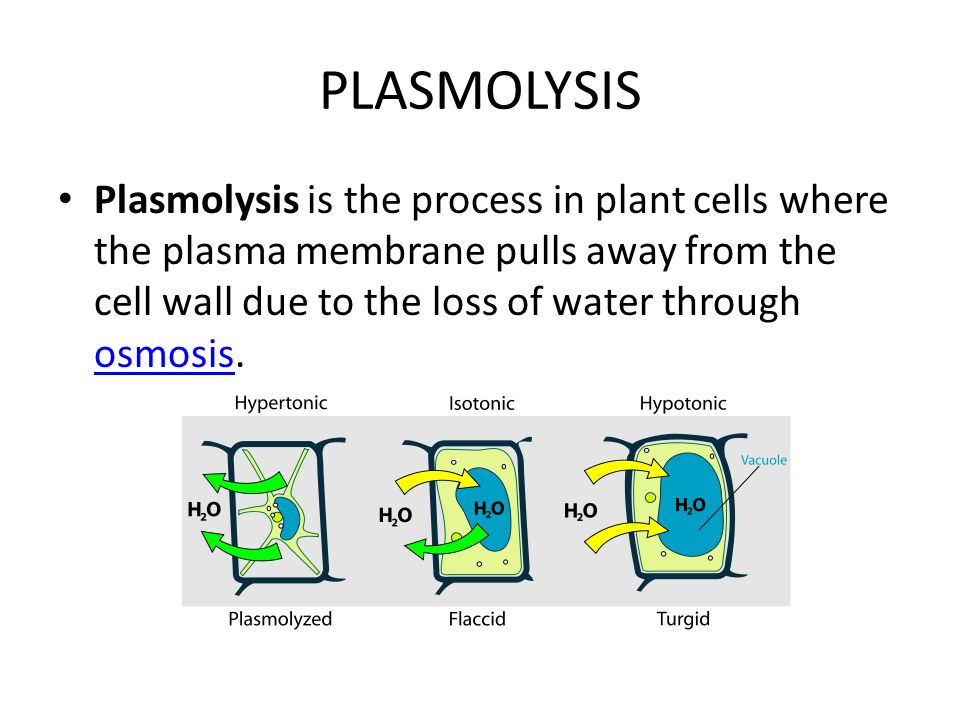 plasmolysis cell and plant cells materials The overall transport of material in the supporting matrix is considered using   value of the cell wall elastic modulus at incipient plasmolysis (n m-'eqn(17))   mass transport in plant tissues based on cellular properties is attributable to  philip.
