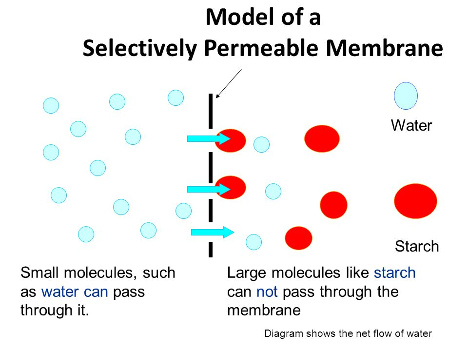 osmosis and selectively permeable membrane Diffusion of water across a selectively permeable membrane from a region of higher concentration to one of lower water concentration osmotic pressure is a force required to prevent movement of water across the membrane hydrostatic pressure moves water out of tube back into distilled water.