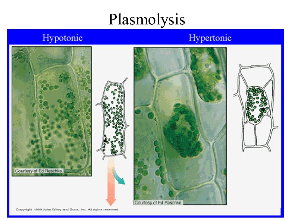 plasmolysis cell and plant cells materials Turgor pressure and plasmolysis water movement is similar in plant and animal cells, but in plants the cell walls cause the cell to act.
