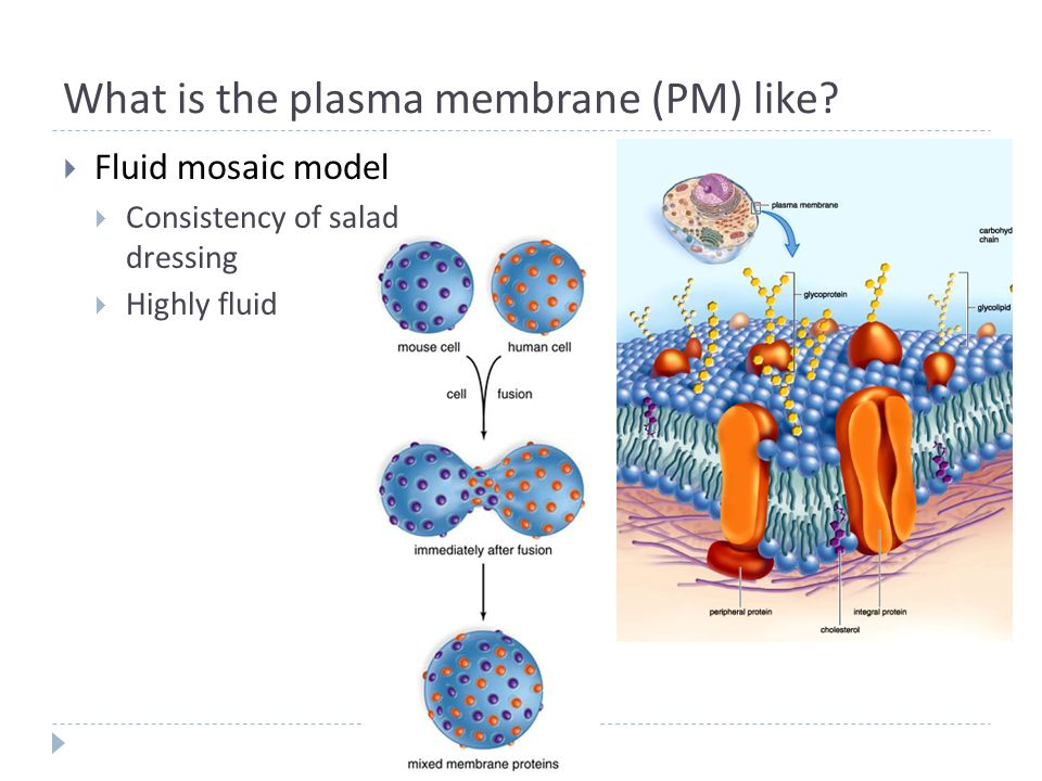 Is a cell membrane a fluid under the mosaic model?