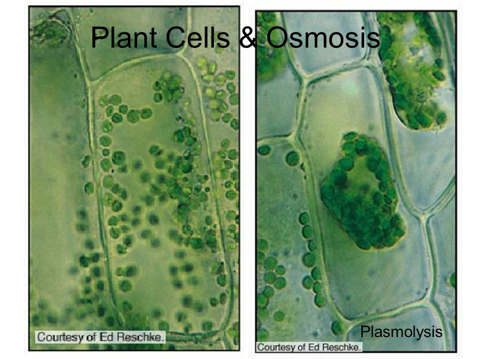 osmosis plasmolysis hemolysis Q7 distinguish between haemolysis and plasmolysis  it loses water by  osmosis until the cell membrane and cytoplasm withdraw from the cell wall.