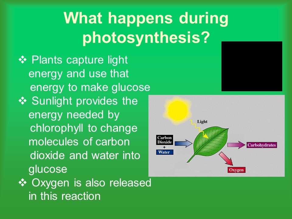 photosythesis to Photosynthesis (fō'tōsĭn`thəsĭs), process in which green plants, algae, and cyanobacteria utilize the energy of sunlight to manufacture carbohydrates from carbon dioxide and.