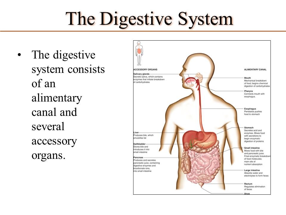The Digestive System The Digestive System Consists Of An Alimentary