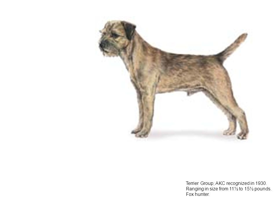 groups of dog breed recognized by the american kennel club akc American hairless terriers and sloughis have joined the elite ranks of dog breed recognition.