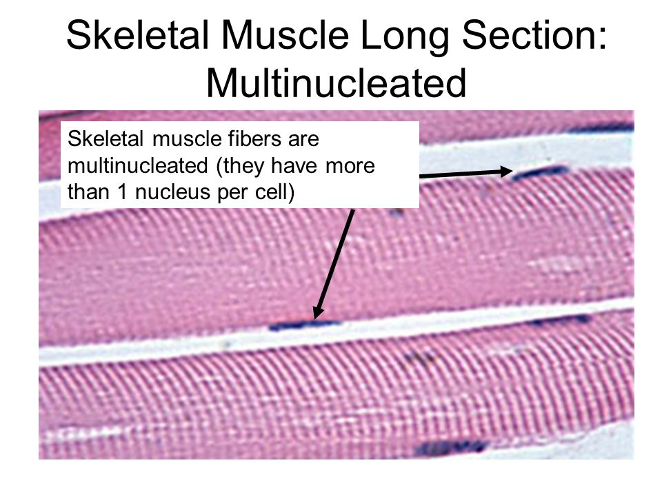 Skeletal Muscle Long Section: Multinucleated