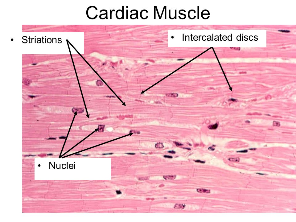 muscle histology. - ppt download, Human Body
